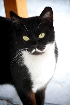 35 Fancy Cats With Mustaches