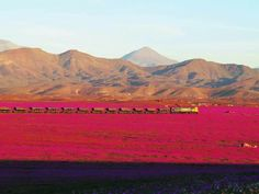 Espectacular foto de tren minero en Atacama CHILE con desierto florido