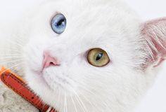 white cat with amazing eyes