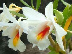 Dendrobium christyanum Orchids seeds
