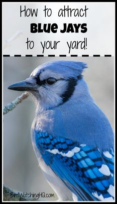 Start attracting Blue Jays today by implementing these four simple strategies. *You will learn the best feeders, foods, and trees that attract Blue jays* Funny Birds, Cute Birds, Small Birds, Colorful Birds, Black Bird Tattoo, Bird Tattoos, Arrow Tattoos, Blue Jay Bird, Bird House Kits