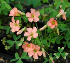 Oxalis by Mail Order at Desirable Plants UK