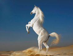 White Horse Wallpaper for Desktop Background Wallpaper px KB Tier Wallpaper, Horse Wallpaper, Animal Wallpaper, Computer Wallpaper, Mobile Wallpaper, Beautiful Horse Pictures, Most Beautiful Horses, Animals Beautiful, Horse Photography