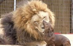 lion and dog best friends