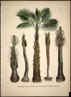 Attalea palm. Historia naturalis palmarum :opus tripartium v.1  Lipsiae:T.O. Weigel,[1823-50]  Biodiversitylibrary. Biodivlibrary. BHL. Biodiversity Heritage Library