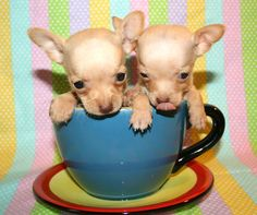 i am a teacup chi-hua-hua Cute Chihuahua, Teacup Chihuahua, Teacup Puppies, Chihuahua Puppies, Chihuahuas, Baby Animals, Cute Animals, Cute Cats And Dogs, Pet Birds