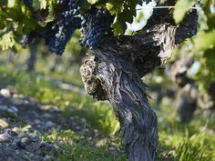 Pied de vigne - Château La Garde - Pessac-Léognan Grand vin de Graves - www.dourthe.com