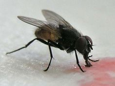 The scientific name of house fly is Musca domestica Linnaeus. House fly has become common now a days. It is found in almost all houses in every area. House flies bring about various types of diseases.