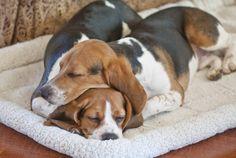 Beagles Sleepin .Timmy.Poppy