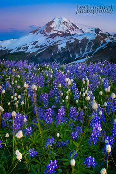 This is an image I took this summer here in the Pacific Northwest of Mount Baker.. at the time I took this it was very dark and I used a LEd light to really paint the lupine and add a cooler mood to the image..   I really appreciate taking the time to look.. - Kevin McNeal