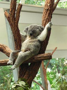 Lone Pine Koala Sanctuary in Fig Tree Pocket, QLD