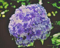 Nick's Photo Site.: Flowers 'Hydrangia' Flowers, Photography, Photograph, Royal Icing Flowers, Flower, Fotografie, Florals, Bloemen, Fotografia