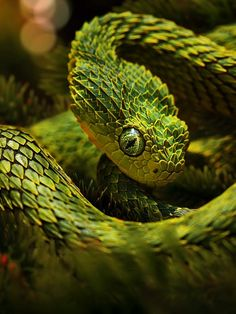 Bush Viper Edit: Tales of the Night Whisperer Scales of Heart Pretty Snakes, Cool Snakes, Colorful Snakes, Beautiful Snakes, Beautiful Scenery, Cute Reptiles, Reptiles And Amphibians, African Bush Viper, Beautiful Creatures