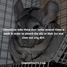 They take these dust baths several times a week in order to absorb the oils in their fur and clear out any dirt. Lion Facts, Tiger Facts, Cat Facts, Weird Facts, Dolphin Facts, Whale Facts, Dinosaur Facts, Chinchilla Facts, Chinchilla Pet