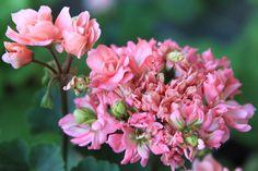 Pelargonium Elnaryds  alizia