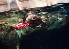 Beluga whale - Valentine's Day at the aquarium - Pictures - CBS News