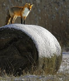 Wild Animals Photography: Beautiful red fox ~❥