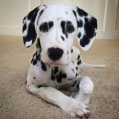 """From """"""""Being cute is what I do best. Cute Puppies, Cute Dogs, Dogs And Puppies, Doggies, Animals And Pets, Cute Animals, Dalmatian Dogs, Puppy Love, Dog Training"""