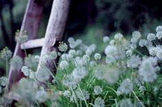Ladder in blue grass valley...white flowers like dandelions ...