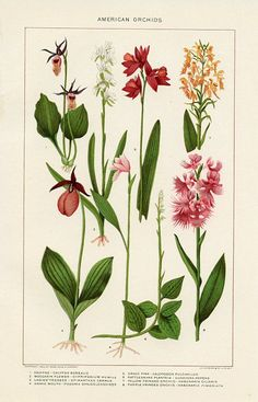 American Orchids, Encyclopedia Plate, (United States, 1911) botanical print