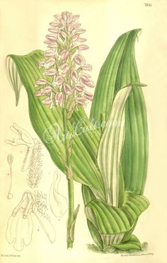 orchids-00514 Cynorkis villosa (spelled Cynorchis villosa) botanical floral botany natural naturalist nature flowers flower beautiful nice flora plants blooming ArtsCult.com Artscult ArtsCult vintage printable public domain 300 dpi commercial use 1800s 1700s 1900s Victorian Edwardian art clipart royalty free digital download picture collection pack paintings scan high qulity illustration old books pages supplies collage wall decor