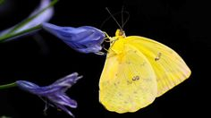 Types of Butterfly with Funny Facts - Butterflies play an important role in pollinating the plants, flowers and vegetables that we need on the earth. There are so many types of butterflies and many have unique ways of surviving. Butterfly Photos, Butterfly Wallpaper, Purple Butterfly, Types Of Butterflies, Beautiful Butterflies, Fine Art Photo, Photo Art, Free Pictures, Free Photos