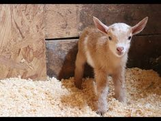 Kittens are cute, baby goats are cute, and this video has both! Hector is a newborn Nigerian dwarf goat at Sunflower Farm Creamery (previously at Neatorama). He was a single birth, and the first of … Cute Animal Videos, Cute Animal Pictures, Cute Baby Animals, Animals And Pets, Dwarf Baby, Cute Dogs, Cute Babies, Goat Barn, Nigerian Dwarf Goats