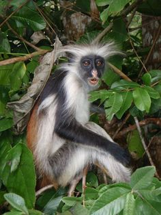 Zanzibar Red Colobus, Piliocolobus kirkii, is endemic to coral-rag scrub forests and mangrove swamps of the Zanzibar archipelago off the coast of mainland Tanzania. Primates, Mammals, Nature Animals, Animals And Pets, Funny Animals, Cute Animals, Amazing Animals, Animals Beautiful, Mundo Animal