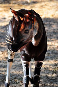 who doesn't love an okapi??
