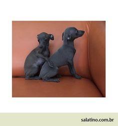Brotherhood  #dog #salatino #clubesalatino #canil #perro #dogs #cute #love #nature #animales #dog #ilovemydog #ilovemypet #cute #galgos #greyhound #galgoespanhol #galgo