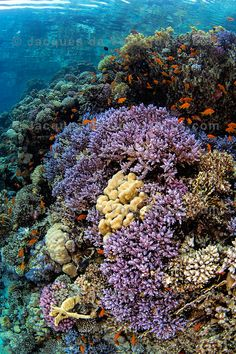 Finger Coral - Red Sea