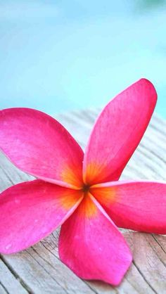 adam lily flower hd wallpaper