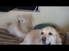 不要打我臉!拉不拉多喜搖尾巴 身後小狗被狂呼巴掌 - YouTube