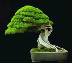 Are you interested in getting an indoor bonsai tree? If you are, then you definitely need to learn about how you can take good care of your tree. Bonsai Trees For Sale, Bonsai Tree Care, Bonsai Tree Types, Indoor Bonsai Tree, Indoor Trees, Bonsai Acer, Juniper Bonsai, Maple Bonsai, Ikebana