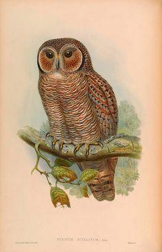"John Gould : ""Syrnium Ocellatum. Speckled Wood-Owl."" (Birds of Asia, 1883) - Giclee Fine Art Print"