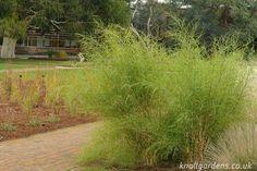 Muhlenbergia dumosa | bamboo muhly grass