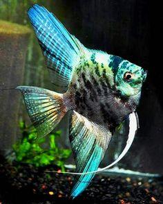 Pterophyllum Scalare for Sale Online Tropical Freshwater Fish, Freshwater Aquarium Fish, Tropical Fish, Tropical Aquarium, Discus Fish For Sale, Aquarium Fish For Sale, Beautiful Fish, Animals Beautiful, Angel Fish Tank