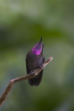 Amethyst-throated Hummingbird