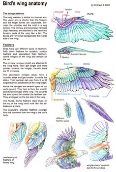 Bird's wing anatomy skeleton and feather օճյճ-յօ