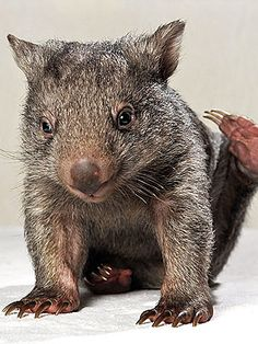 Yogi is an orphaned wombat in Australia. His caregivers are looking for a wombat buddy to teach Yogi important wombat tricks. Beautiful Creatures, Animals Beautiful, Baby Wombat, Baby Sloth, Baby Animals, Cute Animals, Animal Babies, Quokka, Guinea Pigs