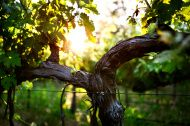 Grape Vines and Trunk in Late Spring
