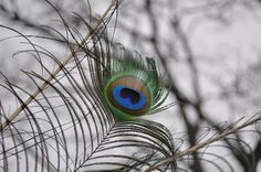 Peacock Feather Art Photography