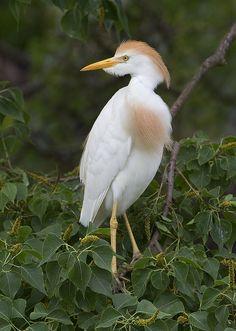 Pretty Little Cattle Egret