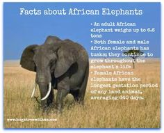Fun Facts about African Elephants