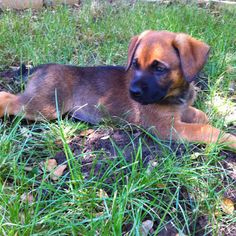 how to train a boxer german shepherd mix