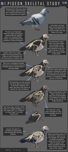 Pigeon Skeletal Study by redwattlebird on DeviantArt