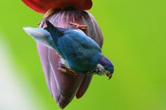Lorichetto ultramarino - Ultramarine Lorikeet -  Vini ultramarina Rats, Bird Breeds, In Natura, Conure, Bird Feathers, Pet Birds, Image, Jean Paul, Flowers