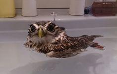 Une petite chouette qui adore prendre des bains [video] - http://www.2tout2rien.fr/une-petite-chouette-qui-adore-prendre-des-bains-video/