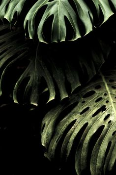 dark monstera leaves on black background - plant inspiration - outdoor living garden decor Δ The Wild Arcadia Green Plants, Tropical Plants, Belle Photo, Indoor Plants, Plant Leaves, Monstera Leaves, Monstera Deliciosa, Green Leaves, Garden Landscaping