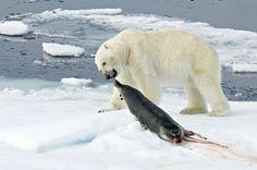 Dinning in polar bare